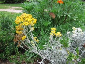 Picture of Dusty Miller flowers