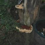 Picture of Pizza-like mushroom
